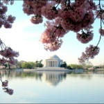 dc cherry blossoms