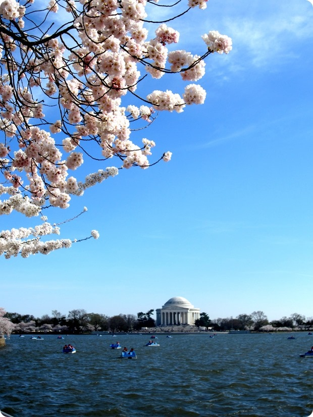 dc cherry blossoms 2014