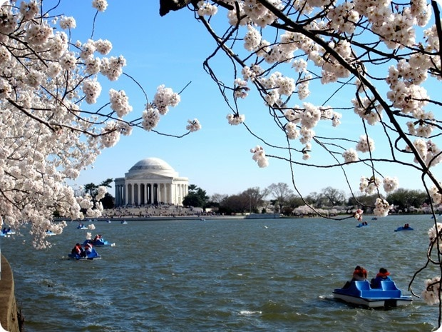 washington dc cherry blossoms 2014