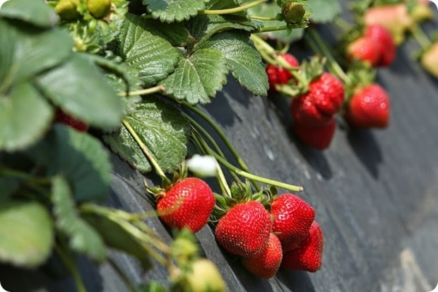 terry berries