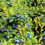 wild blueberry field