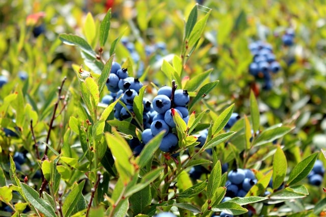 Wild Blueberry Fields Forever Fannetastic Food