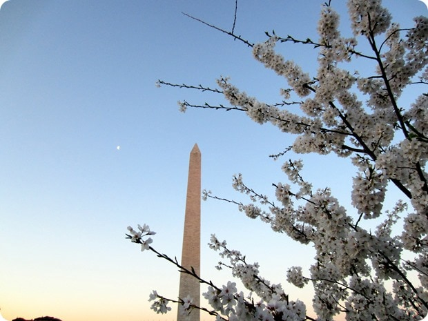 cherry blossoms washington monument