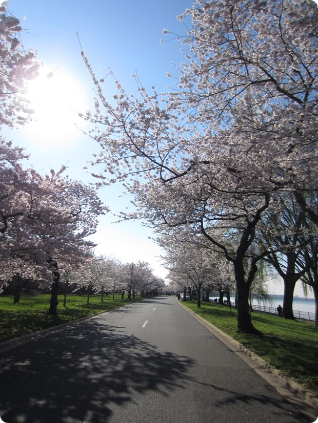 hains point cherry blossoms dc