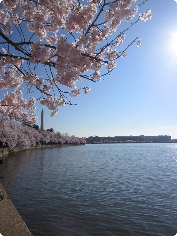 cherry blossoms dc 2016