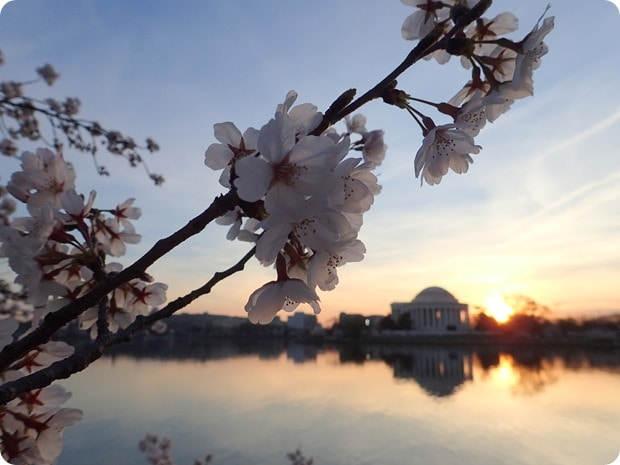 dc cherry blossom photography 2016