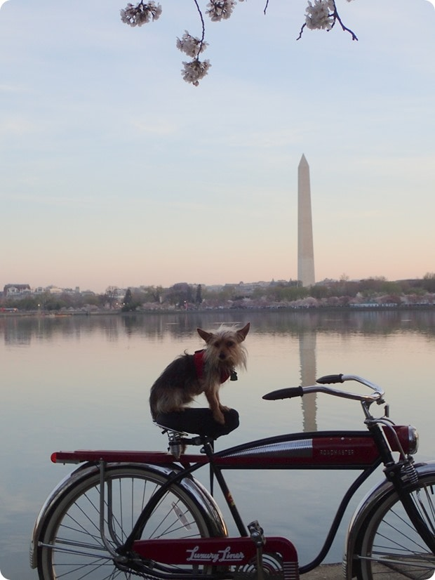 dog on bike cherry blossoms dc