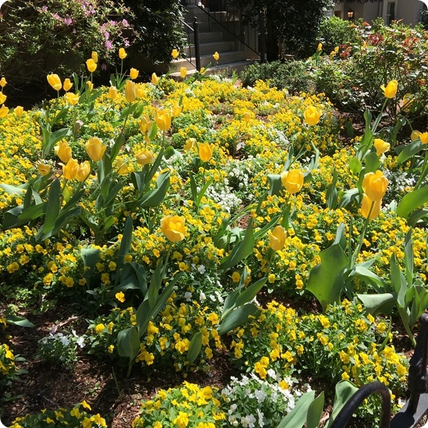 spring flowers in DC