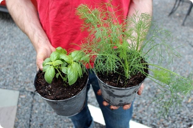 planting basil and dill at home