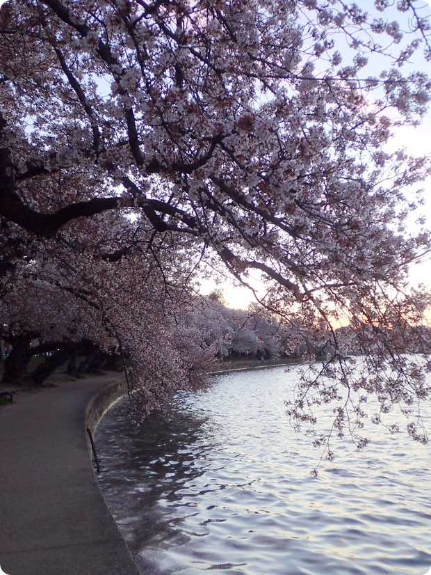 tidal basin cherry blossoms dc