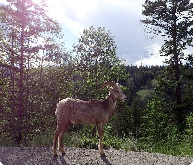 bighorn sheep driving canada
