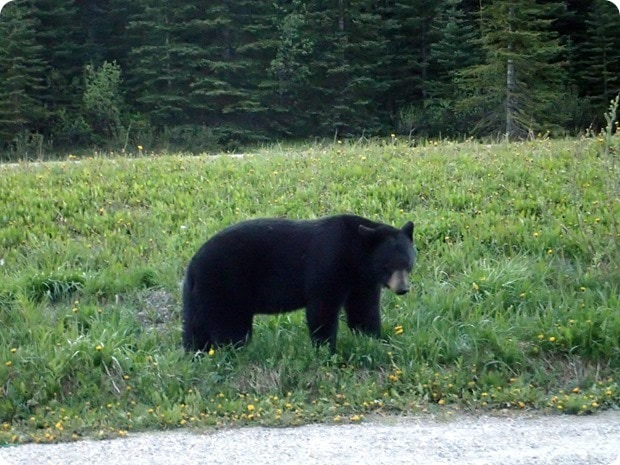 bear on side of the road in banff