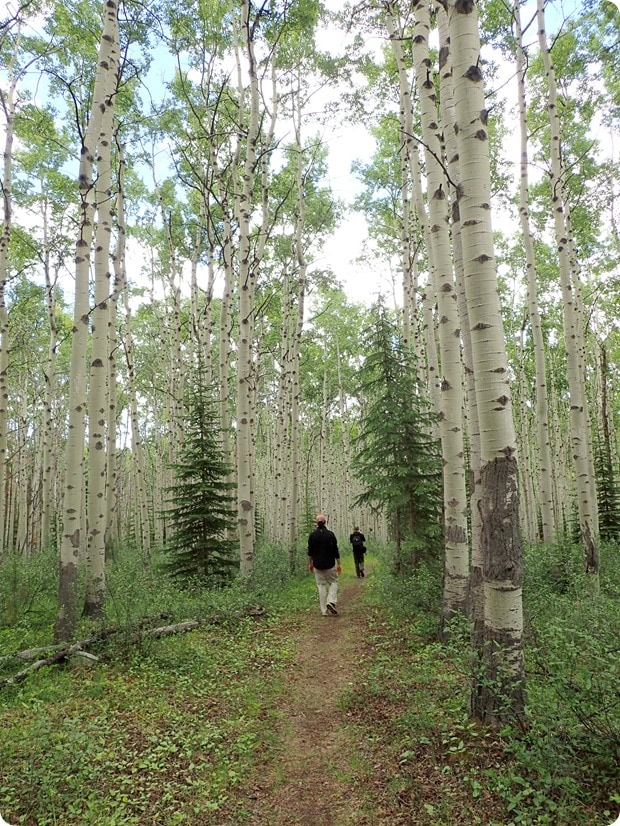 jasper national park birch forest