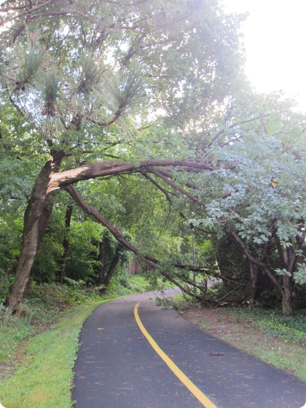 fallen tree on custis trail