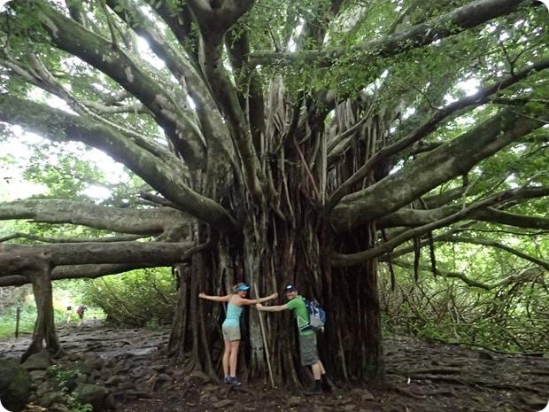 banyan tree haleakala national park