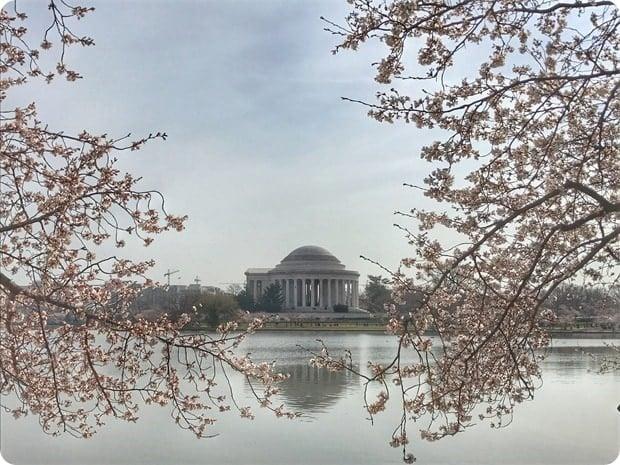 2017 dc cherry blossoms