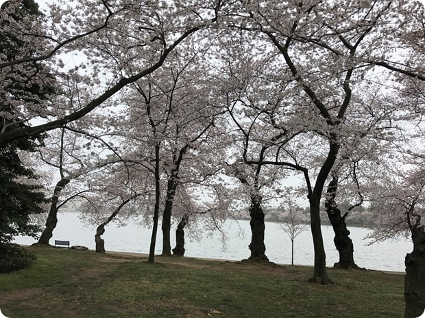 2017 dc cherry blossoms