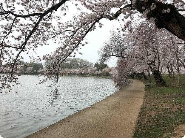 2017 cherry blossoms dc