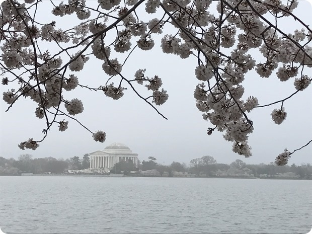 tidal basin cherry blossoms 2017