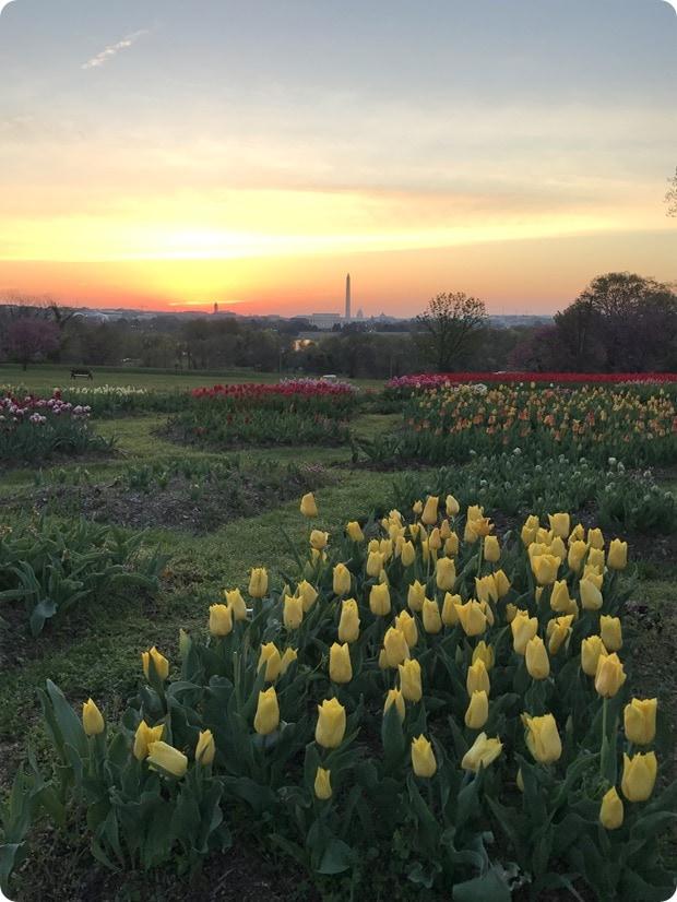 rosslyn tulips