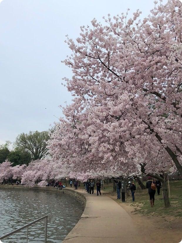 cherry blossom morning run 2