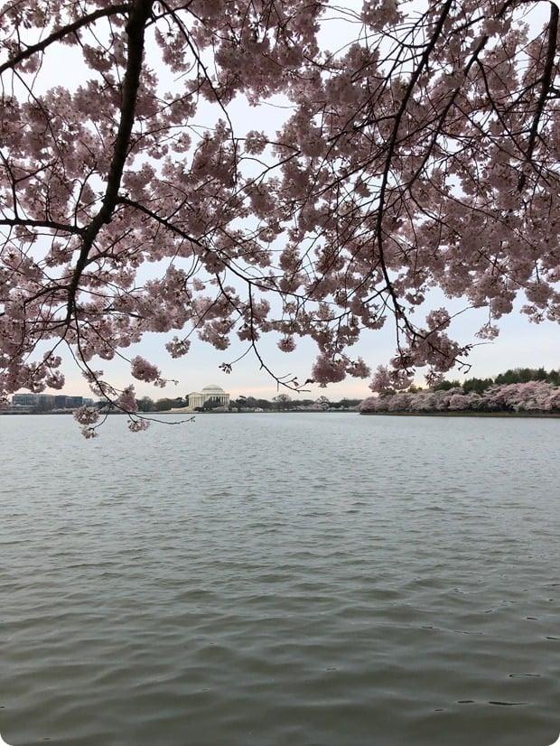 cherry blossom morning run 3