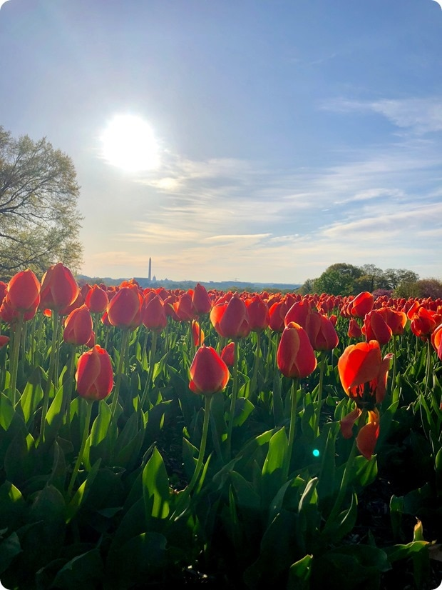 tulips view of dc