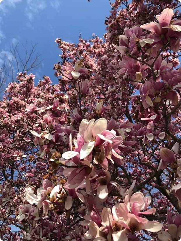 virginia beautiful spring pink flower trees