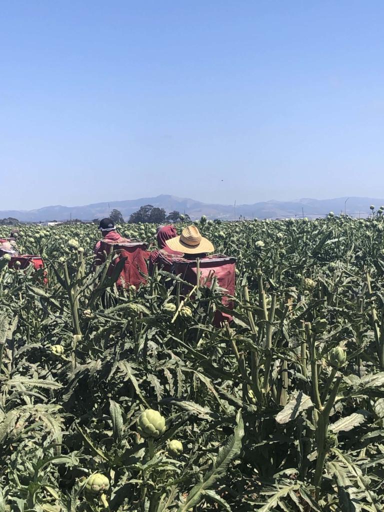 artichoke farm california