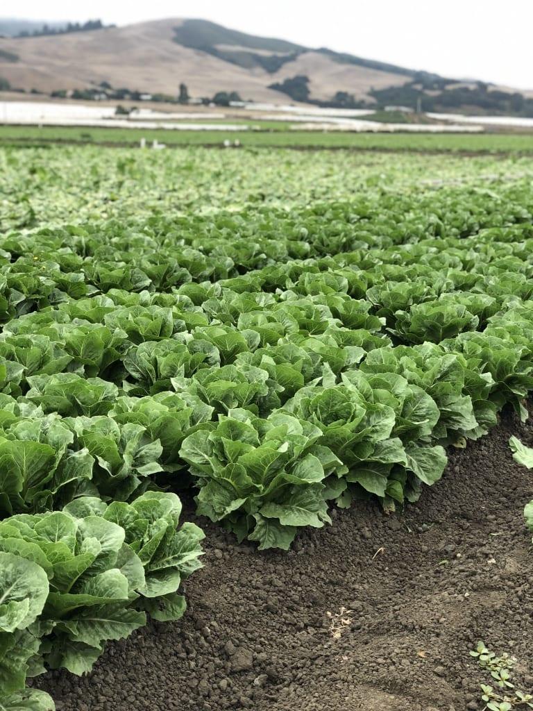 romaine field in california