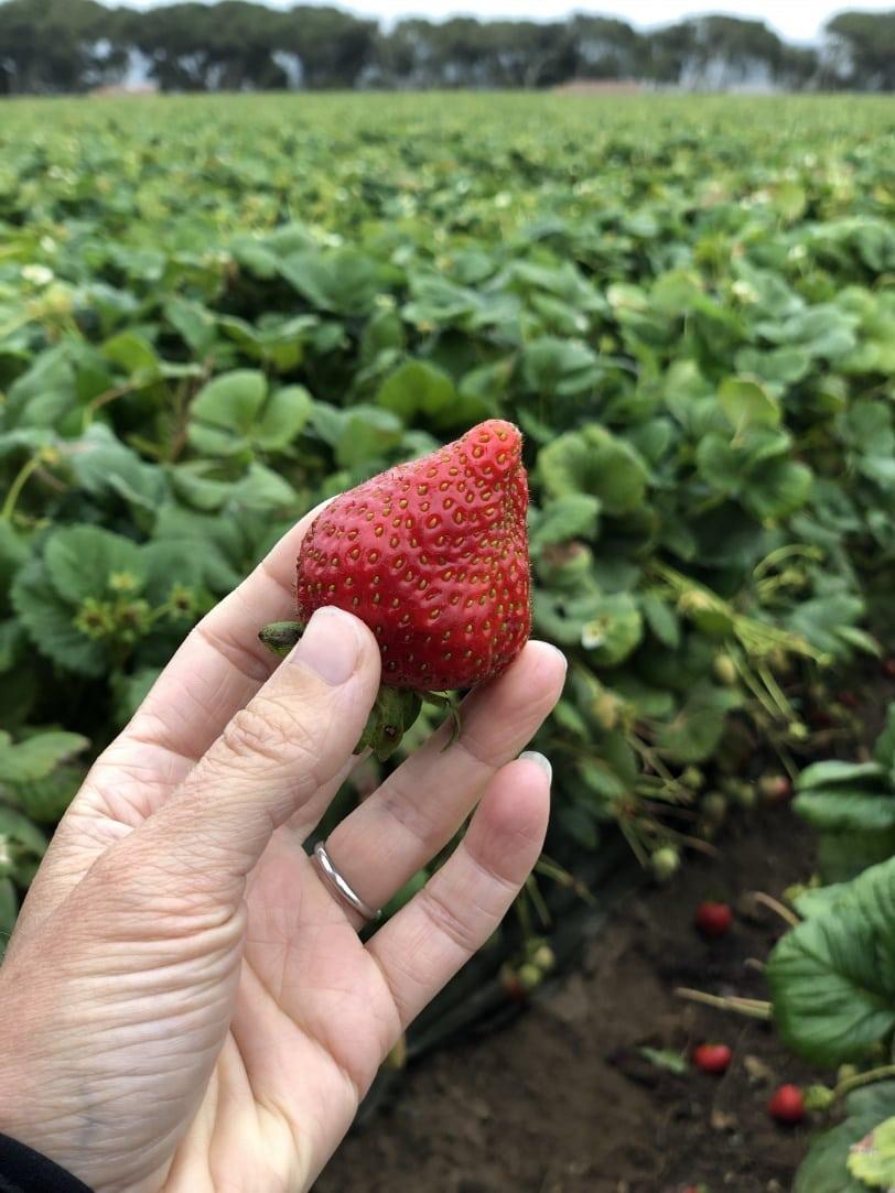 strawberry field in california