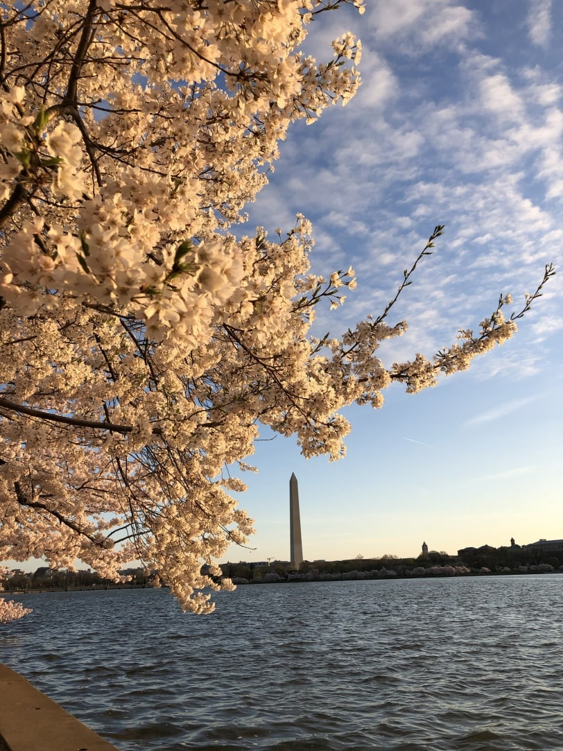 cherry blossom sunrise pictures