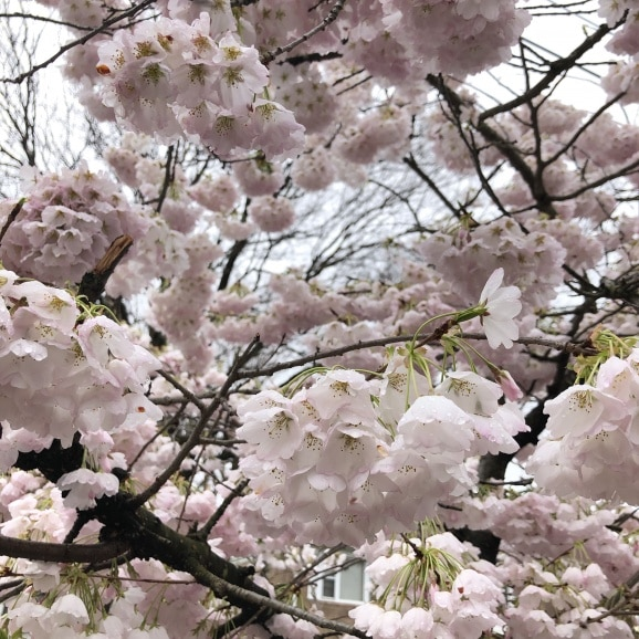 beautiful white and pink spring flowers