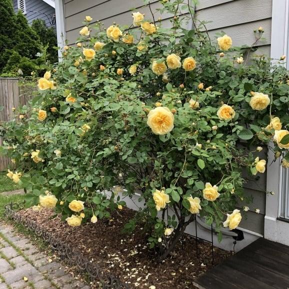 enormous flowering rose bush