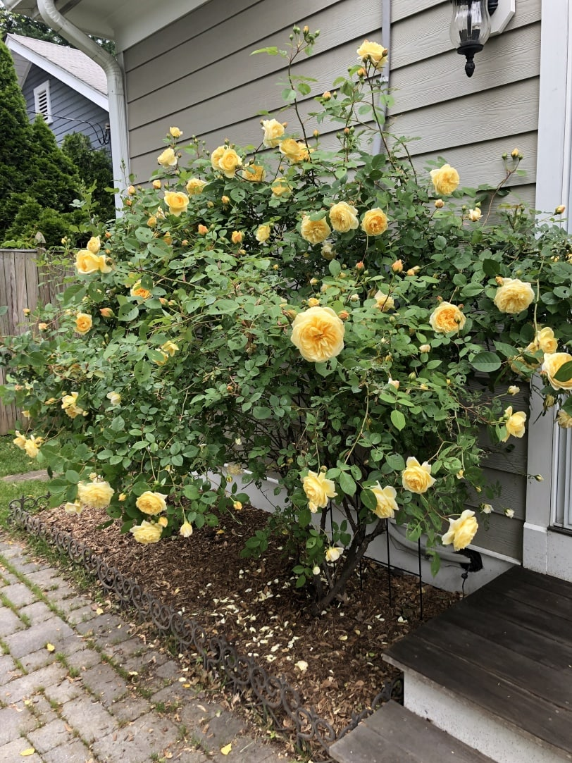 enormous flowering rose bush