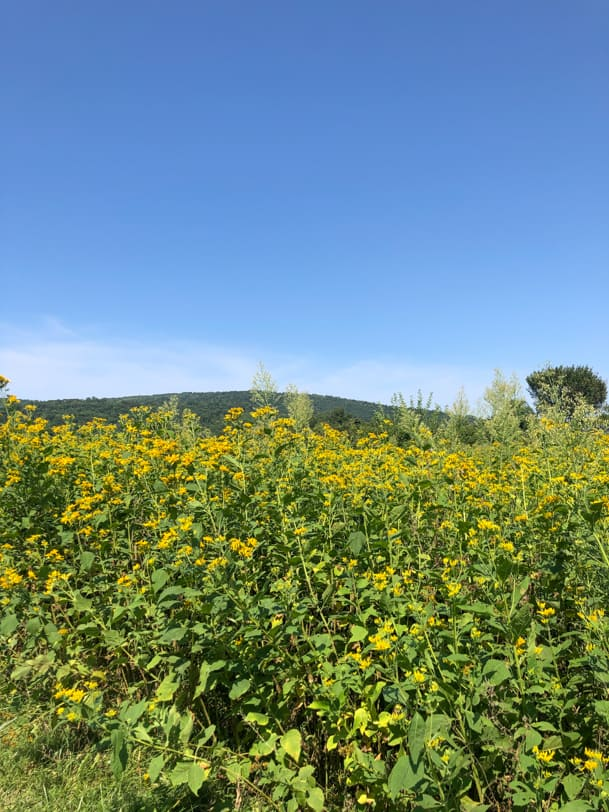yellow flowers in sky meadows state park