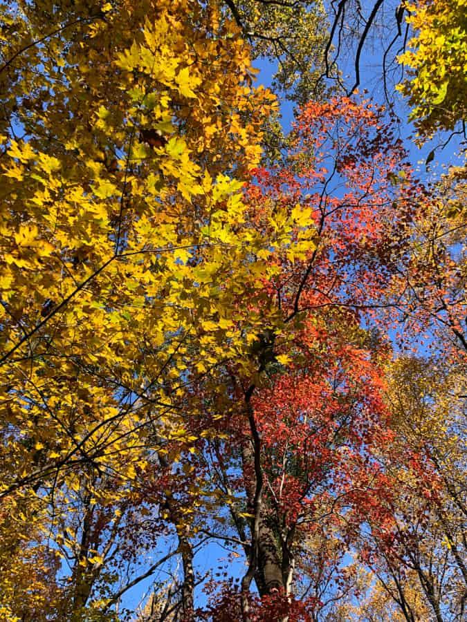 beautiful fall leaves in northern virginia