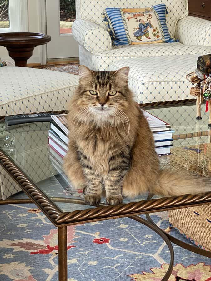 zara the fluffy cat
