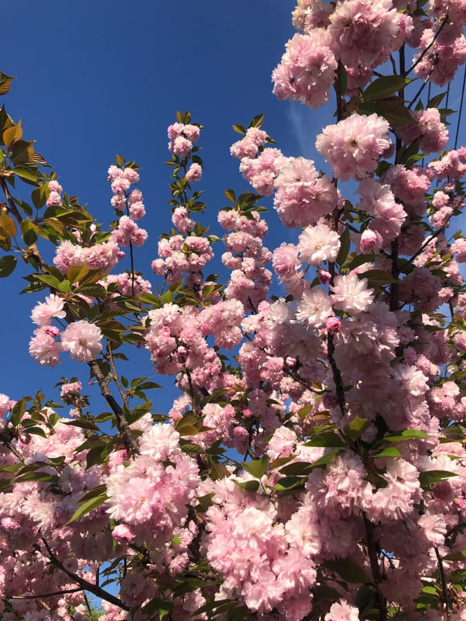 pink flowers with deep blue sky
